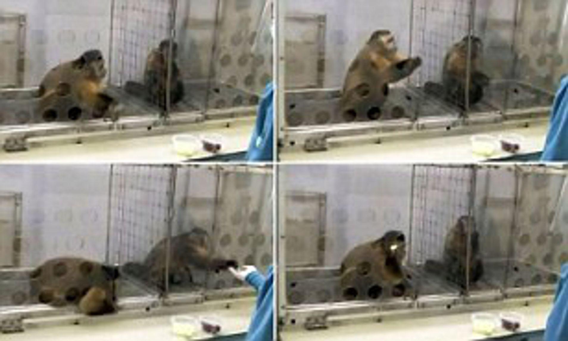 Kapuçin maymunları üzerinde Adaletsizliğe toleransı ölçmek amaçlı yapılan deney