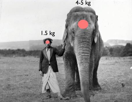 İnsan ve fil beyninin hacimsel ve kütlesel karşılaştırılması.