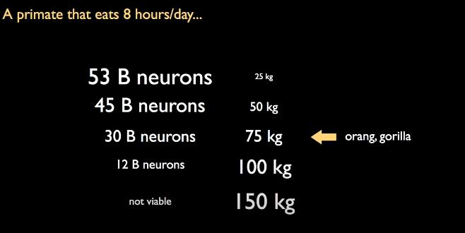 Goril ve Orangutanların beyinlerindeki nöron sayısının evrimsel limiti.