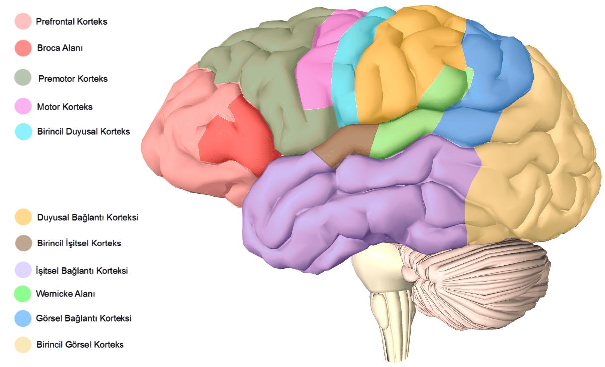 Beyin_Bölümleri